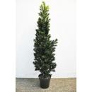 y13856 花藝設計.花材果樹- 人造樹- 5尺羅漢樹