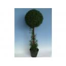 y01475 人造樹 -單球羅漢草(盆)-綠