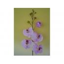 y01479中曼波蝴蝶蘭-紫