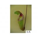 y11009 精緻人造花-草本類-瓶子豬籠草(綠)