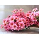 y11313 花藝設計.花材花藝果樹系列-7頭可樂波斯菊-粉紅(黃)