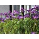 y11421 花藝設計系列-中壢法國之星戶外騎樓鳶尾花(愛麗斯)盆栽佈置