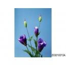 y11780 花藝設計-精緻人造花-紗桔梗 深紫 (共6色)